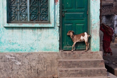 Goat by the door Janakpur, Nepal