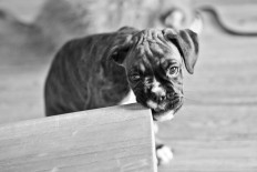 Puppy 3: Boxer Pup