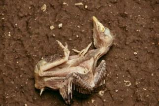Dead Pidgeon offspring