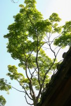 Japanese Trees