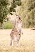 A Bloody Kangaroo mate!